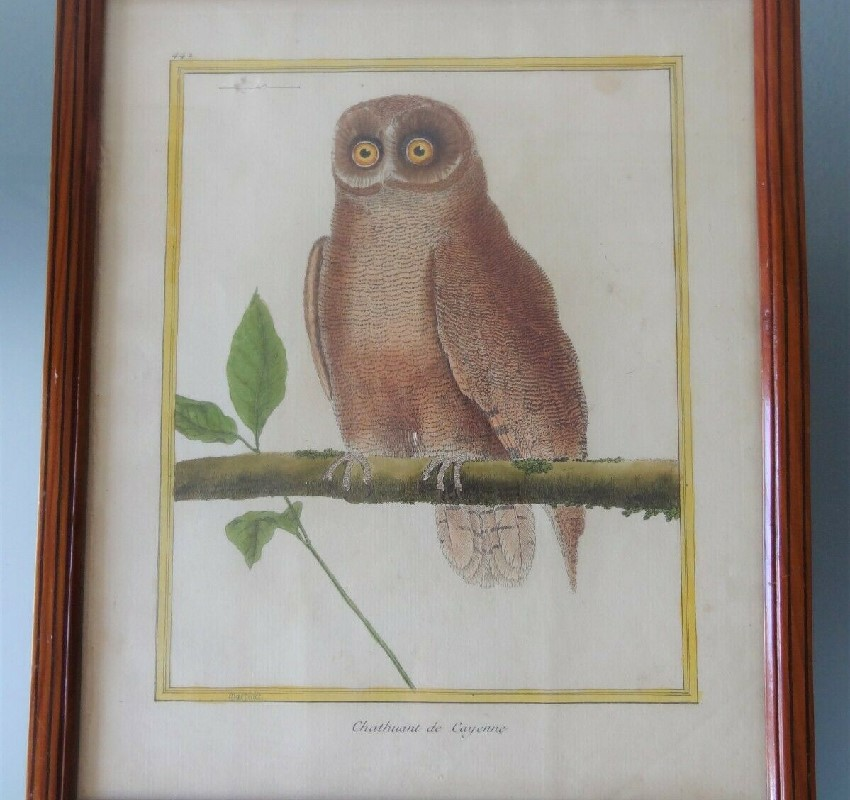 ancienne gravure XVIII oiseau martinet